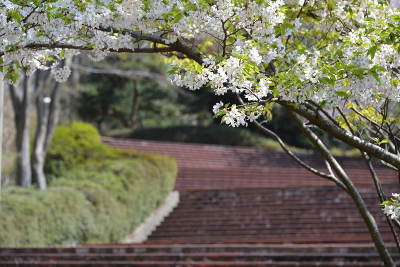 弥彦の桜 Ⅲ-2