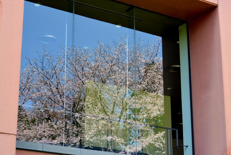 弥彦の桜 Ⅲ-3