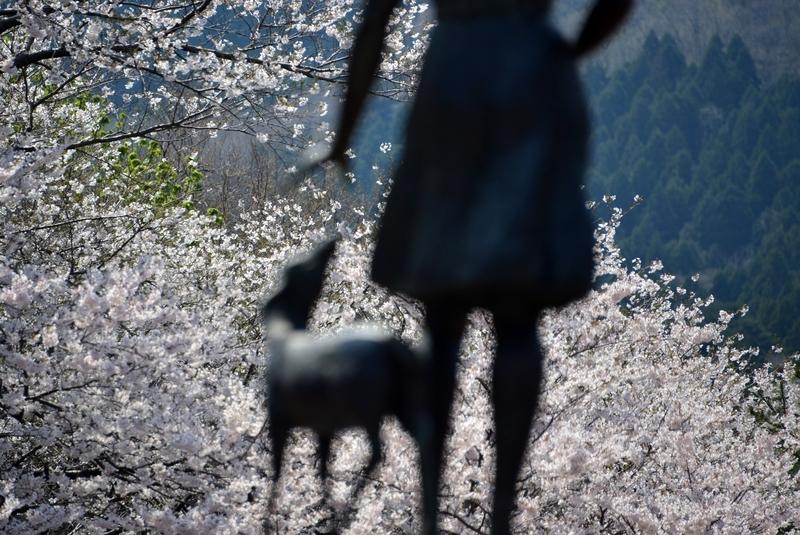 弥彦の桜 Ⅲ-4