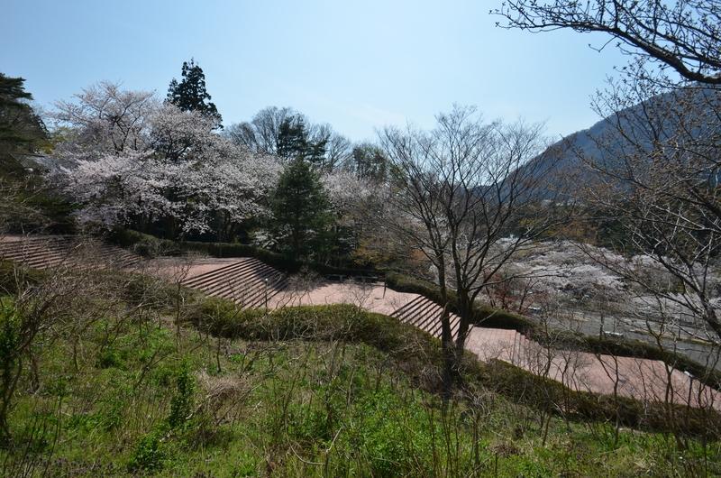弥彦の桜 Ⅲ-5
