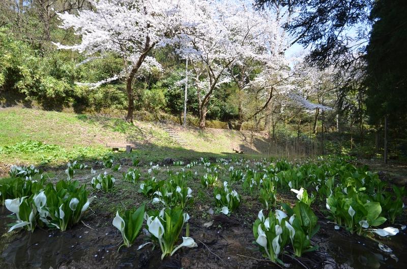 弥彦の桜Ⅳ 水芭蕉と-1