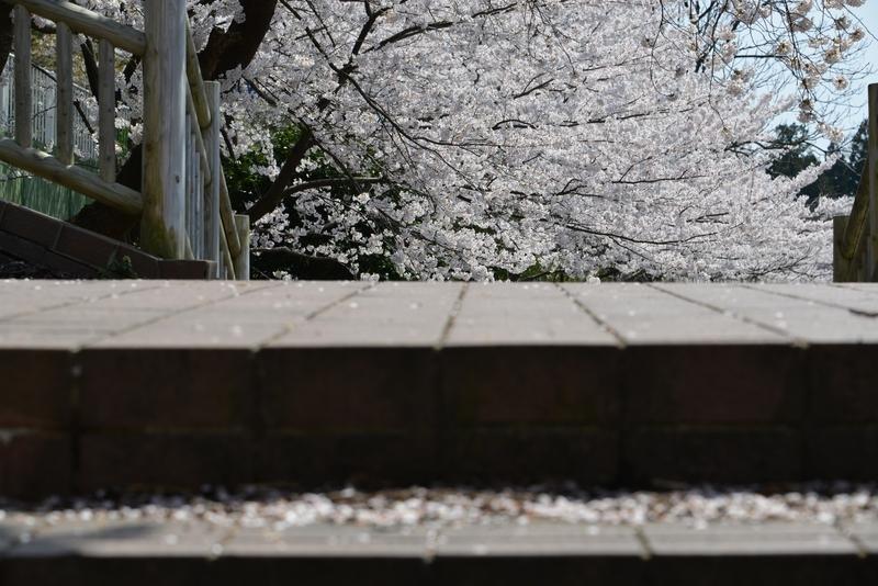 弥彦の桜 Ⅴ アラカルト-1