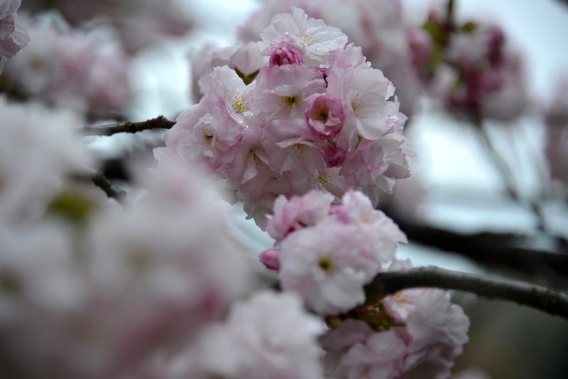 桜―紅白―5