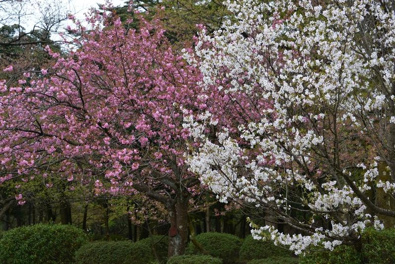 桜―紅白―1