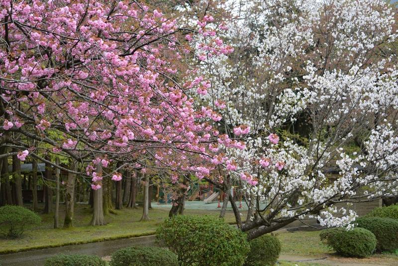 桜―紅白―2