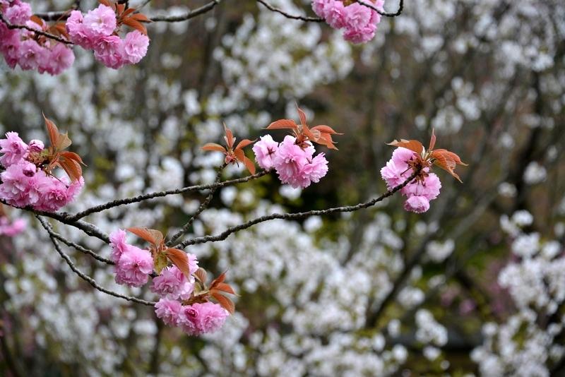 桜―紅白―3