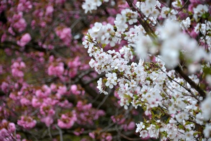 桜―紅白―4