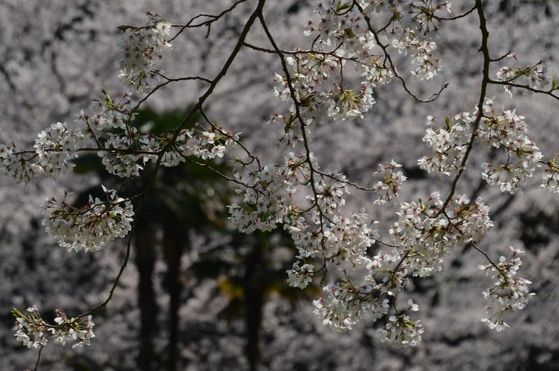 弥彦の桜たち-2