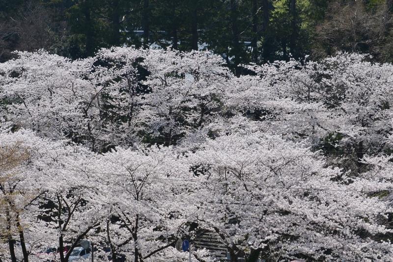 弥彦の桜たち-3