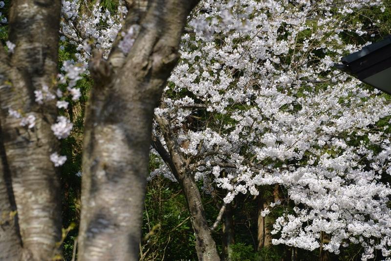 弥彦の桜たち-4