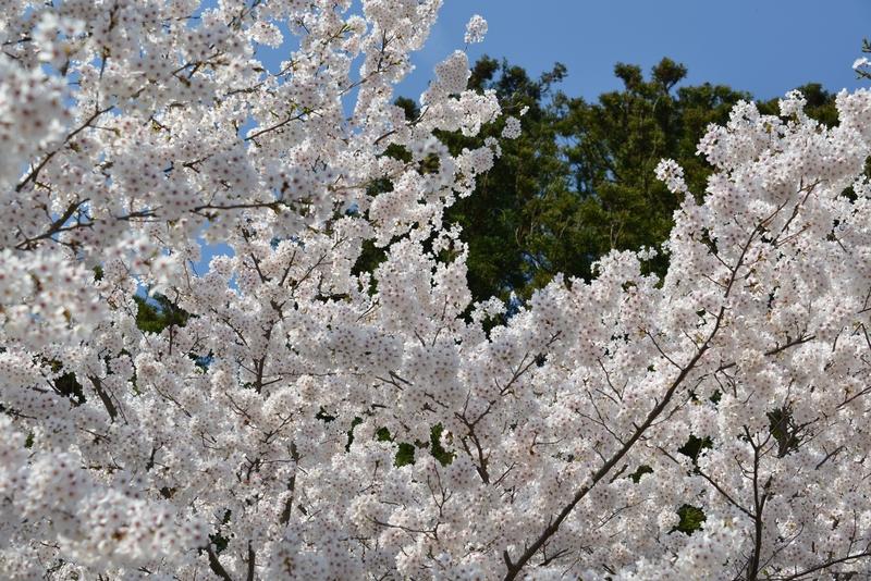 弥彦の桜たち-1