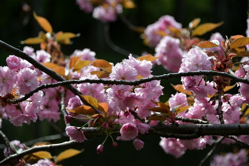 水辺の八重桜-1