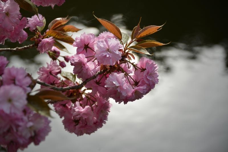 水辺の八重桜-2