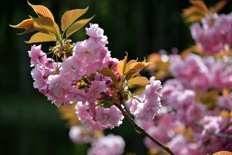 水辺の八重桜-3