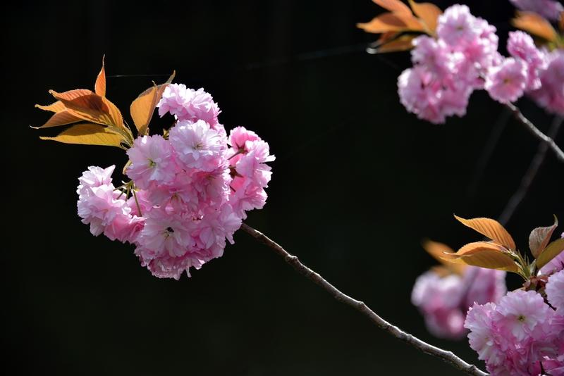 水辺の八重桜-4