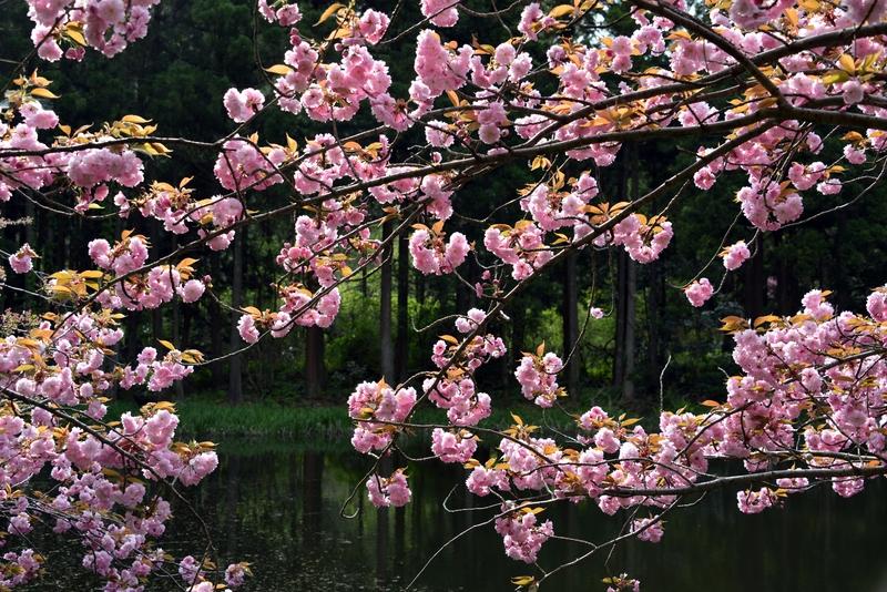 水辺の八重桜-5
