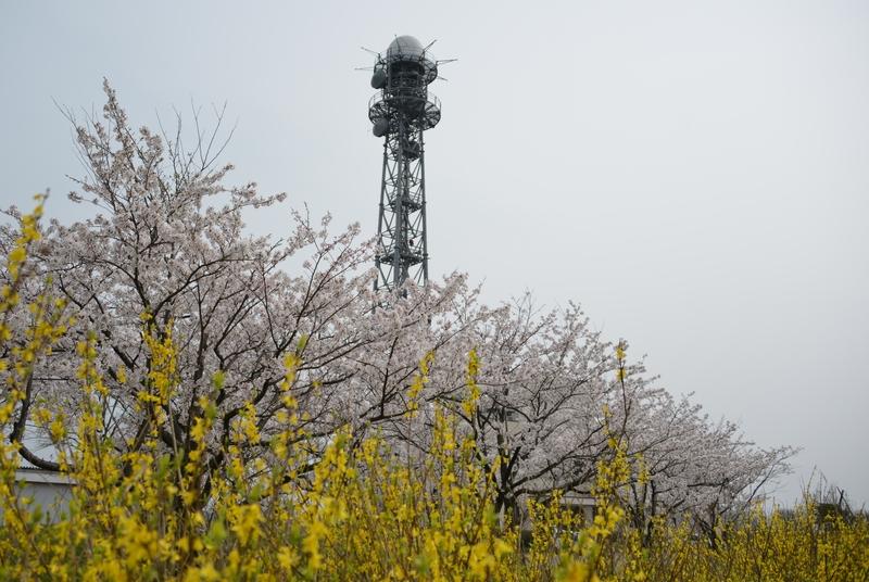 塔と桜と-1