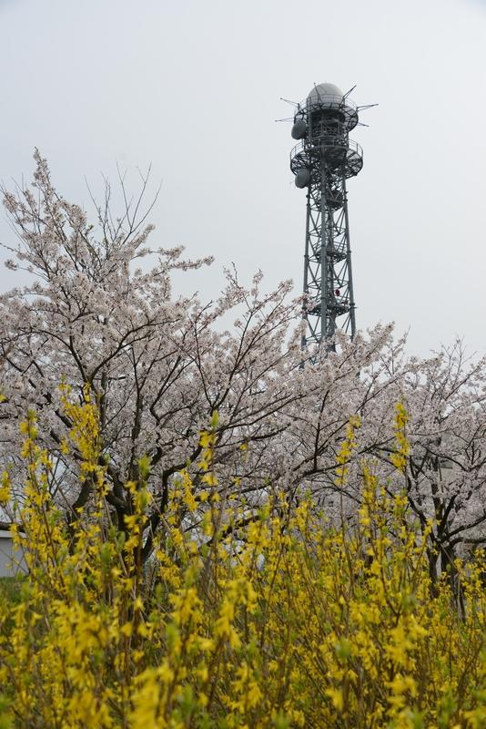 塔と桜と-4