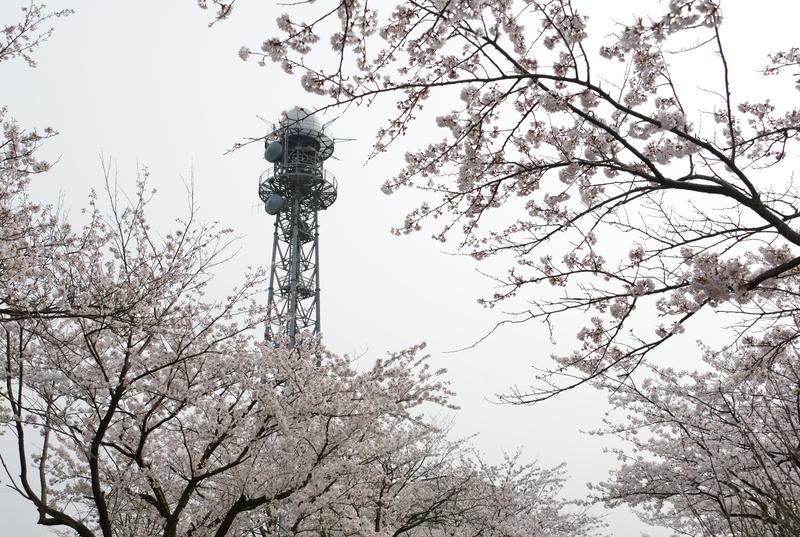 塔と桜と-5