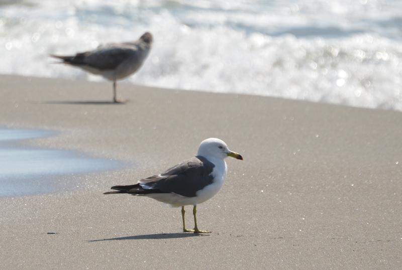 連休の海岸 かもめ-1