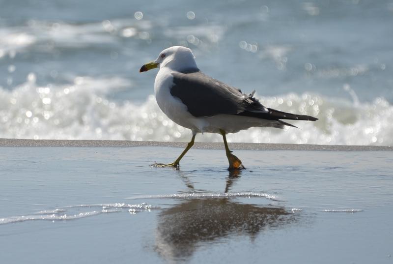 連休の海岸 かもめ-2