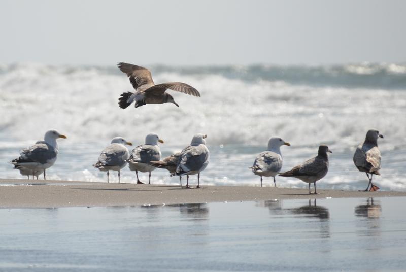 連休の海岸 かもめ-5