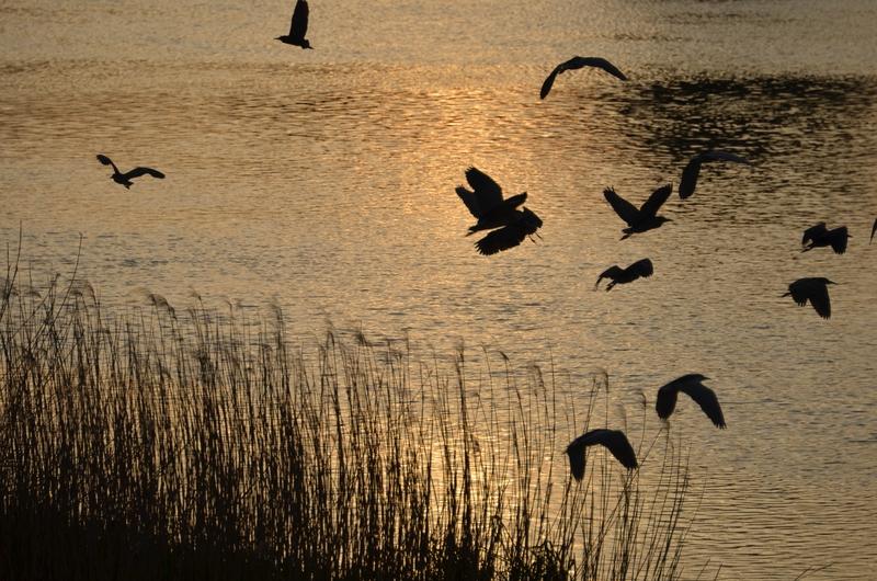 河原の鳥たち-4