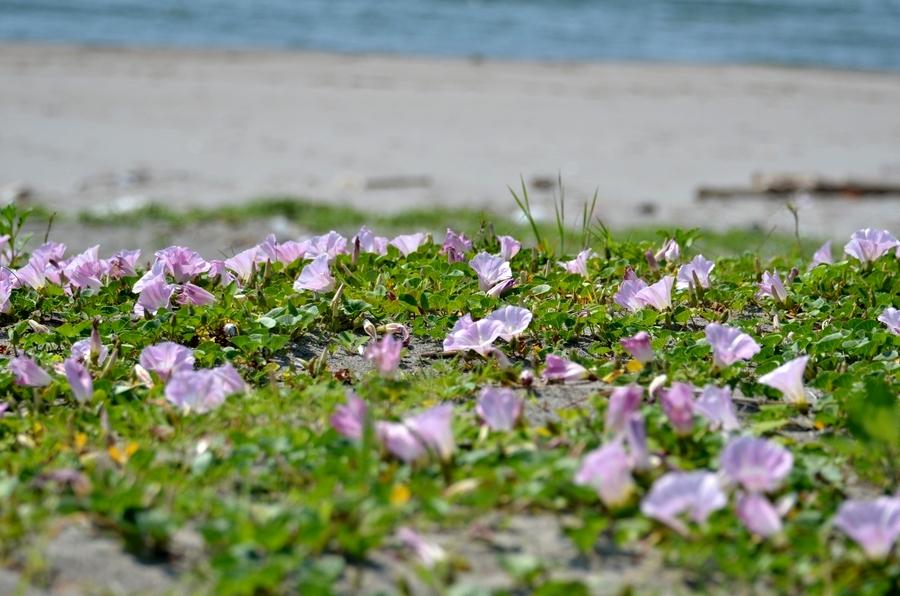 浜に咲く Ⅱ-3