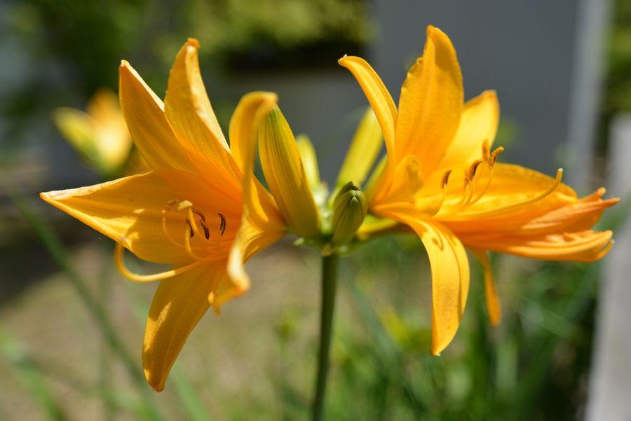 カンゾウの花-1