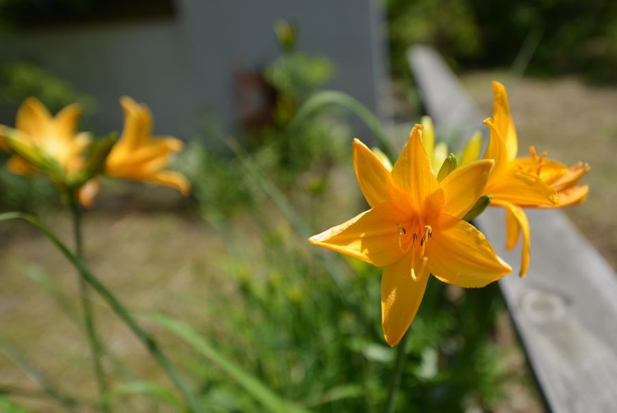 カンゾウの花-2