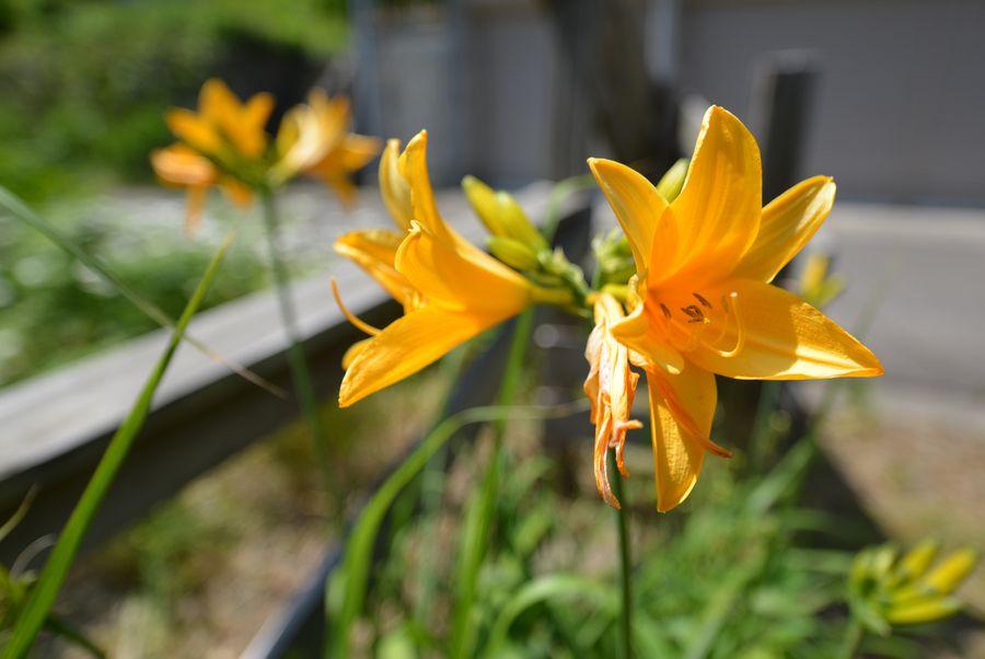 カンゾウの花-3