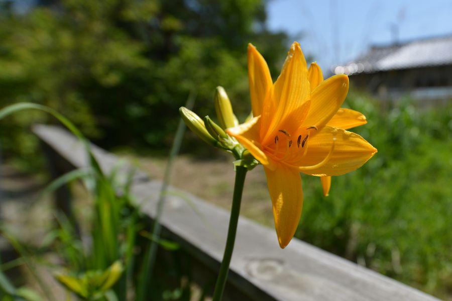 カンゾウの花-4