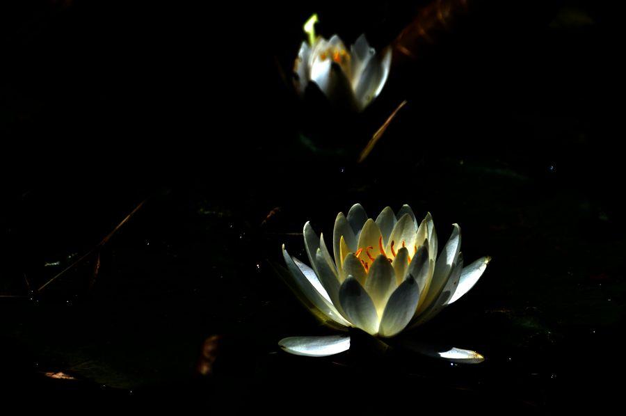 花菖蒲 咲き始め-5