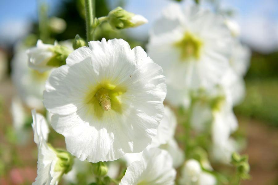 夏の花-5