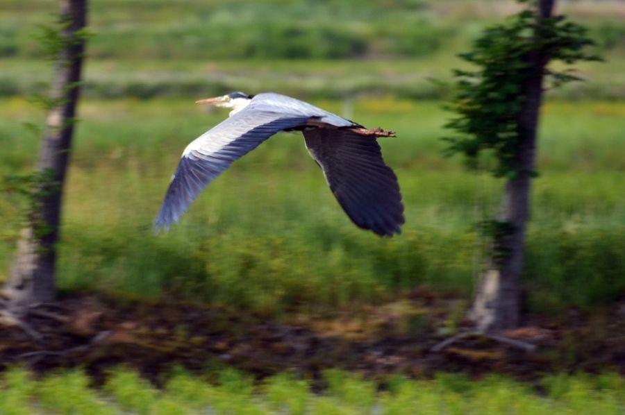 鷺飛ぶ-1