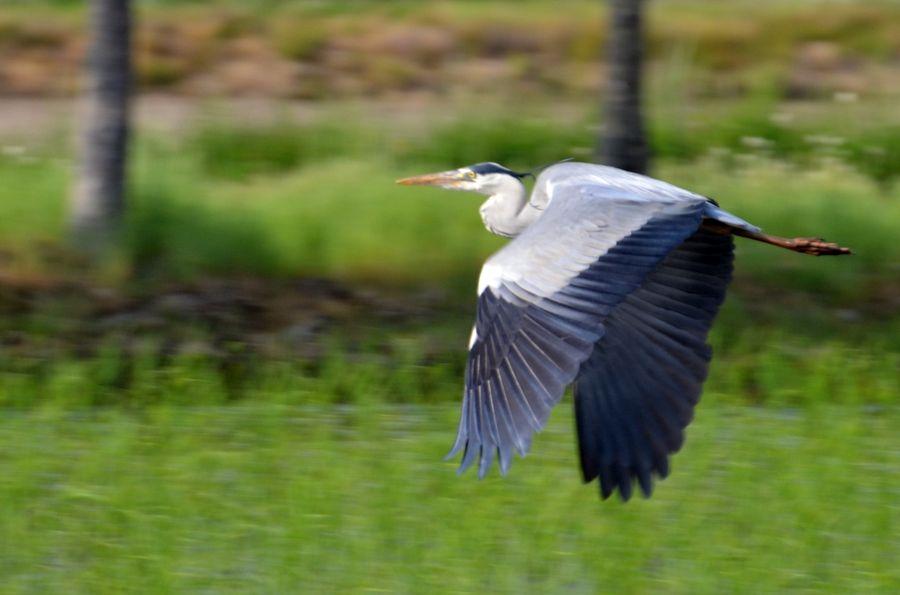 鷺飛ぶ-2