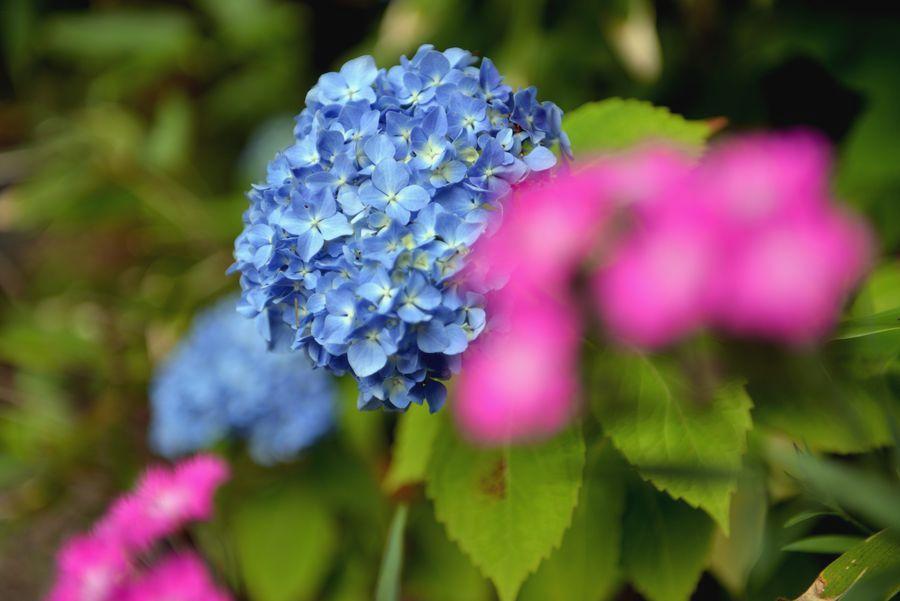 梅雨時の花たち-3