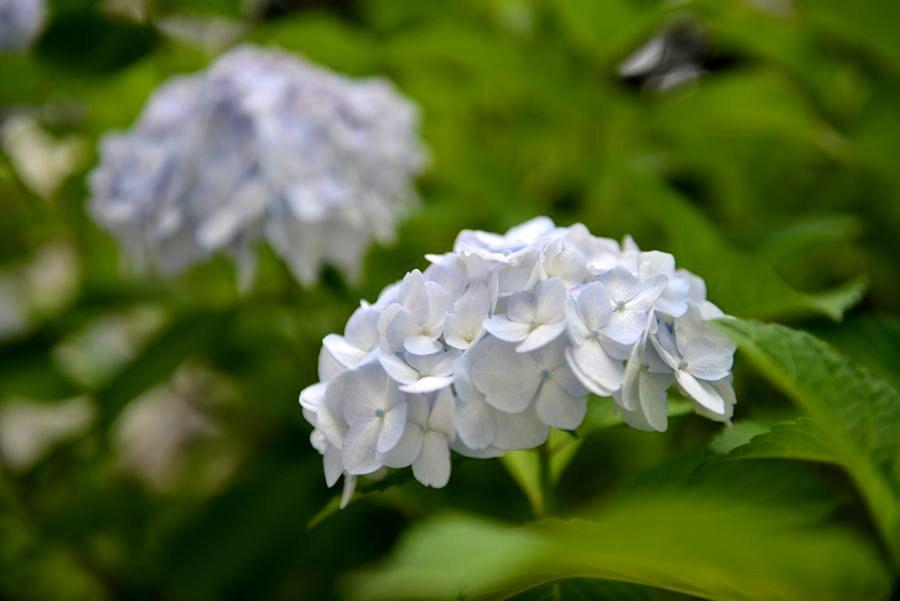 白い紫陽花-1