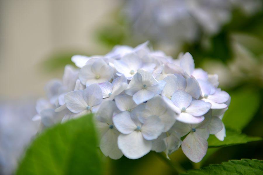 白い紫陽花-5