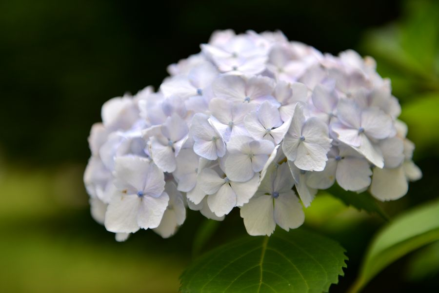 白い紫陽花-4