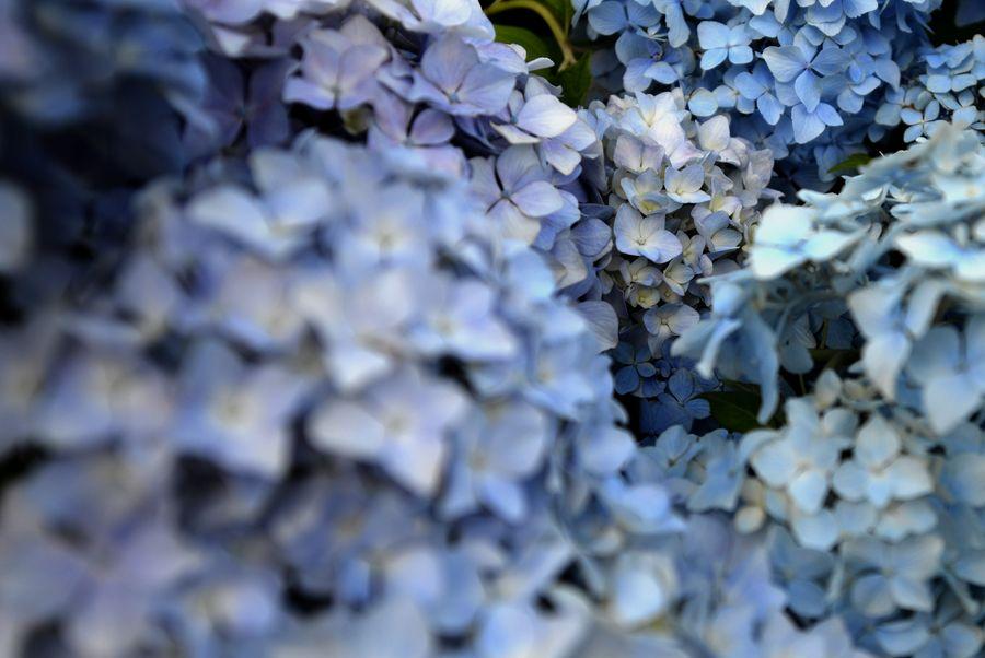 紫陽花-3