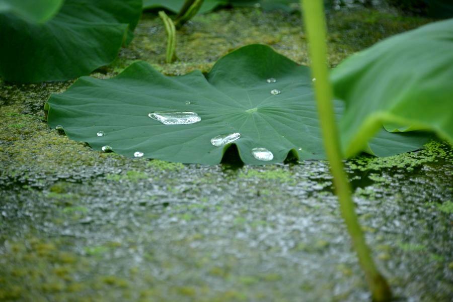 レンコン畑 梅雨-4