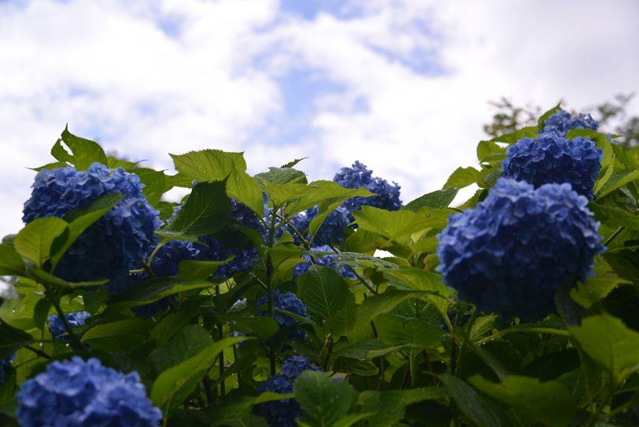 紫陽花 諸々-1