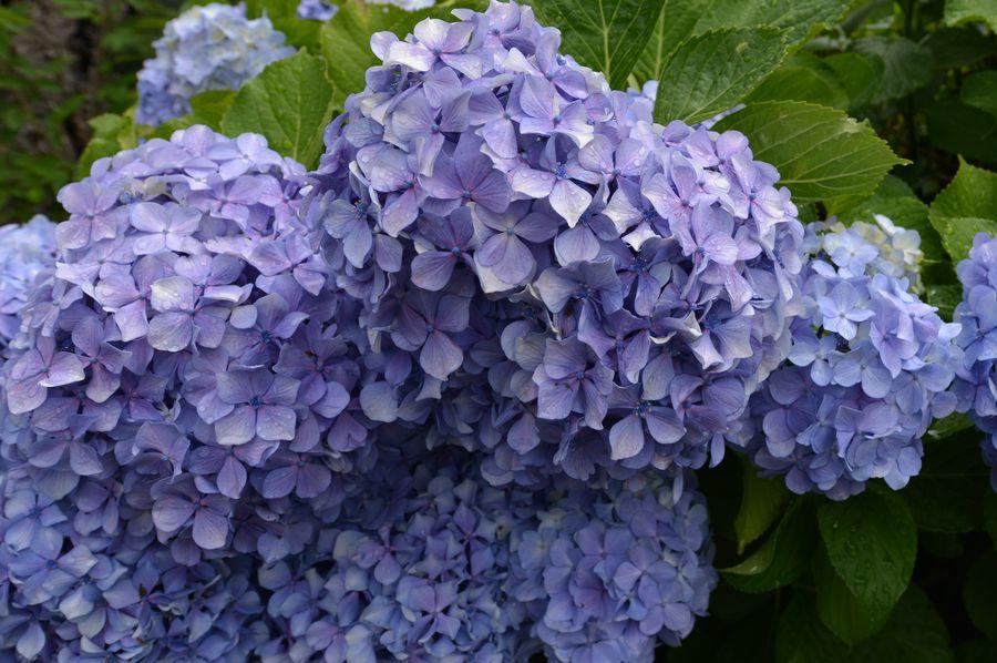 紫陽花 諸々-3