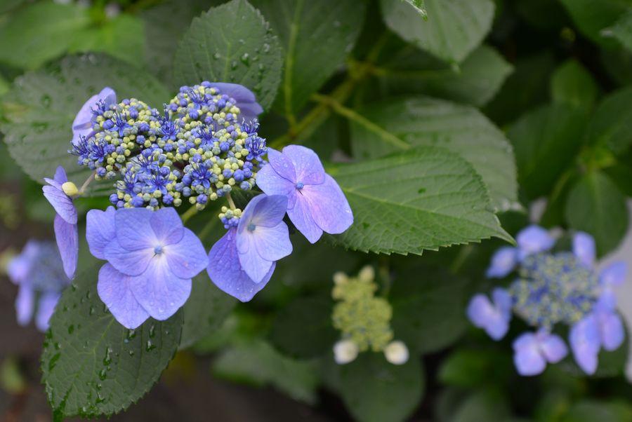 紫陽花 諸々-4