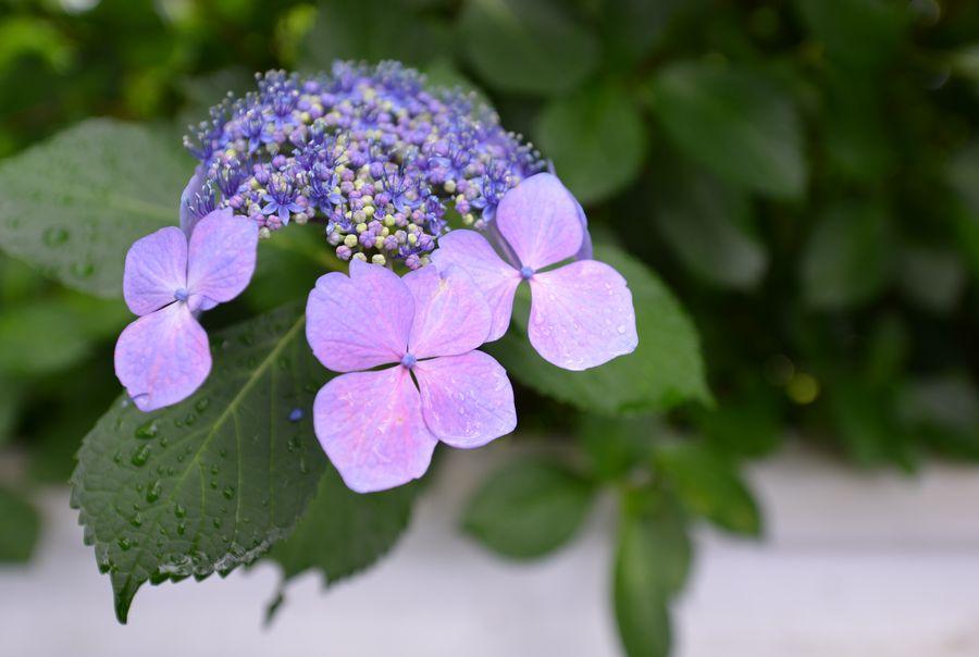 紫陽花 諸々-5