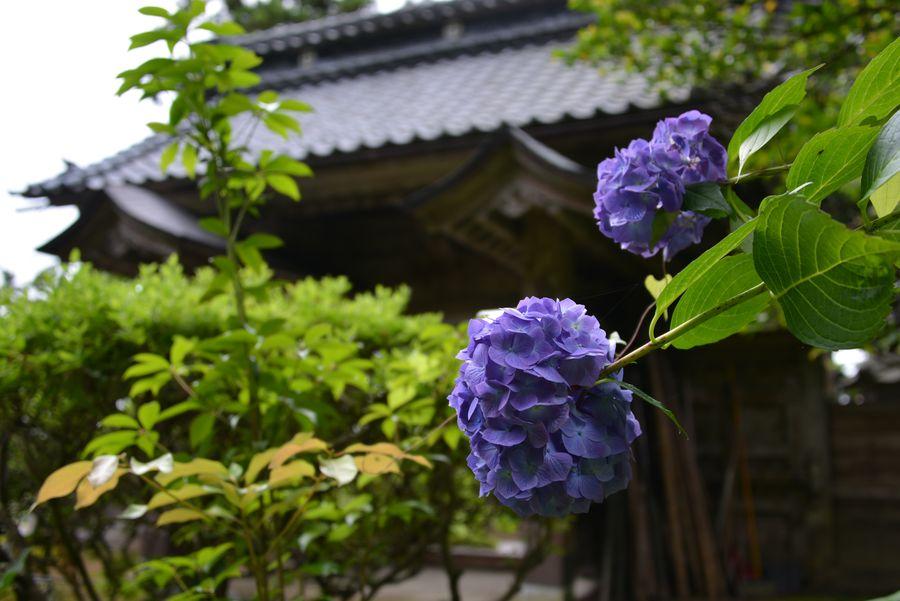 種月寺 紫陽花-1