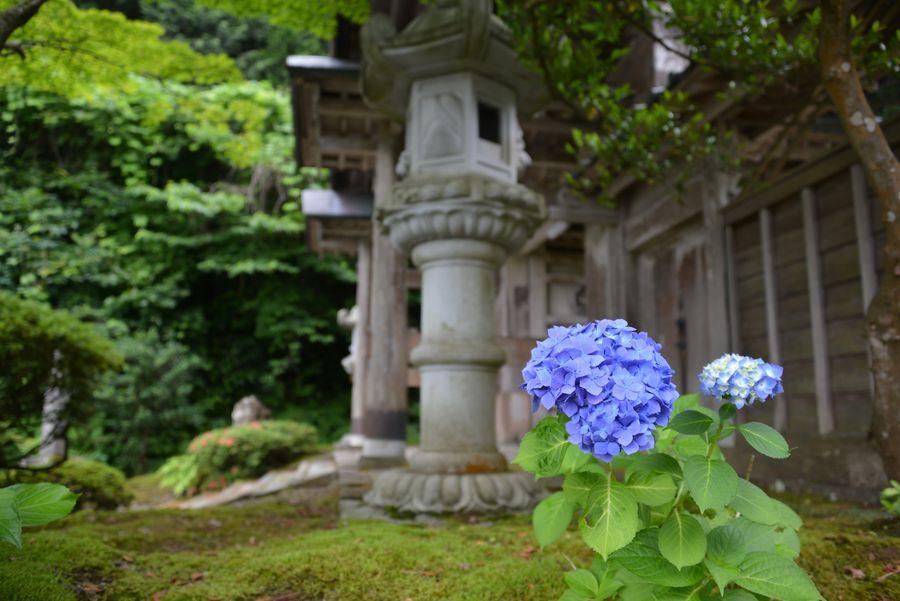 種月寺 紫陽花-2