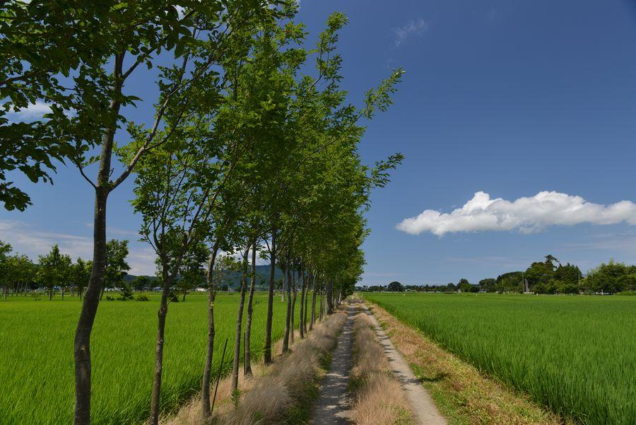 盛夏の水田-2