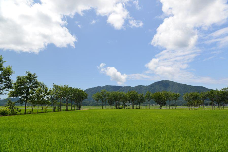 盛夏の水田-3